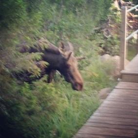 Moose at Lonesome Lake